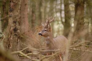 Roe deer have a charm all of their own